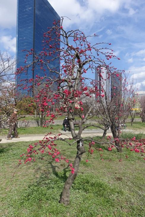 大阪城公園のさくらはまだ早かったですが桃園はよかったですよ