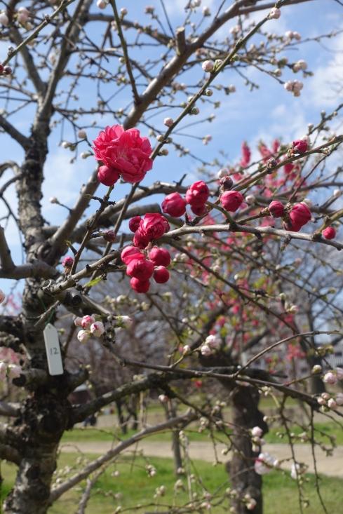 真っ赤な桃の花。サンガラスをかけると何故かもっと赤く見える。