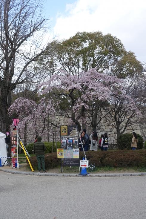 西の丸庭園前の枝垂桜はご覧のとおり。通り過ぎる観光客を外したつもりでも7人写った。